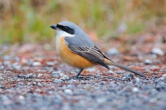 灰色の裏付けのShrike Lanius tephronotusタイの美しい鳥