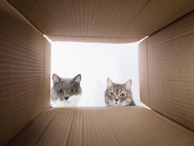 회색 아름다운 고양이, 판지 carobka를 들여다보고 호기심 많은 애완 동물이 흥미로운 장소를 확인합니다. 공간을 복사하십시오.
