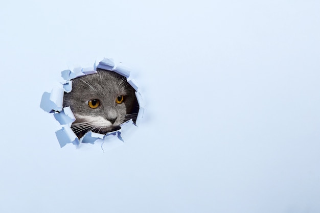 Grey beautiful cute cat peeks out of a hole in blue paper. copy space.