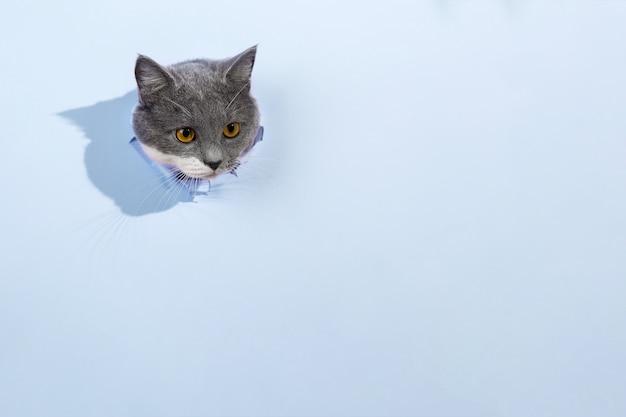 青い紙の穴から灰色の美しいかわいい猫が覗いています。コピースペース。