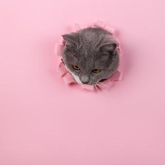 ピンクの紙の穴から灰色の美しいかわいい猫がのぞきます。コピースペース。