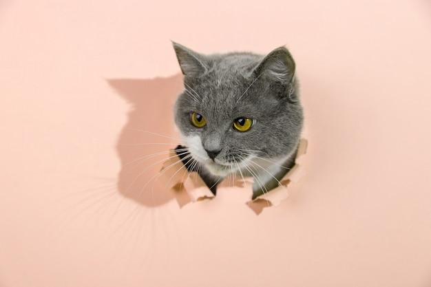 Серый красивый милый кот выглядывает из дырки в желтой бумаге. копировать пространство.