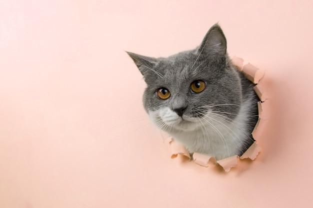 黄色い紙の穴から灰色の美しいかわいい猫がのぞきます。コピースペース。