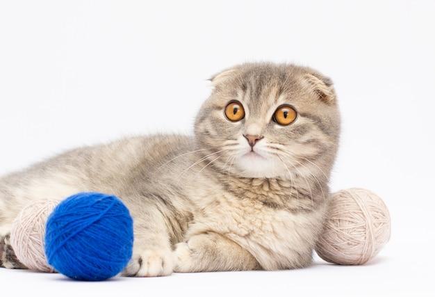 灰色の美しい小さな子猫スコティッシュフォールドは、灰色の背景に、マルチカラーのクルーで遊ぶ