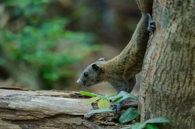Grey-bellied squirrel in forest