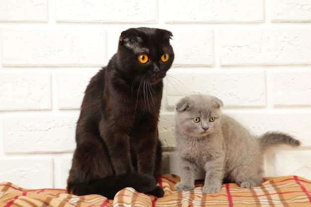 格子縞の背景にお母さんと灰色のイギリスの子猫