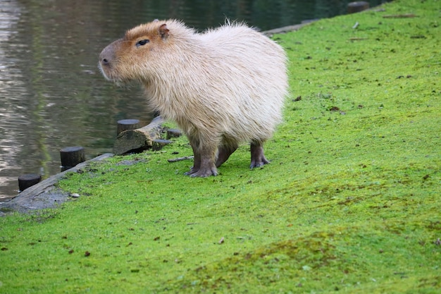 Grey capybara standing on a field of green grass next to the water