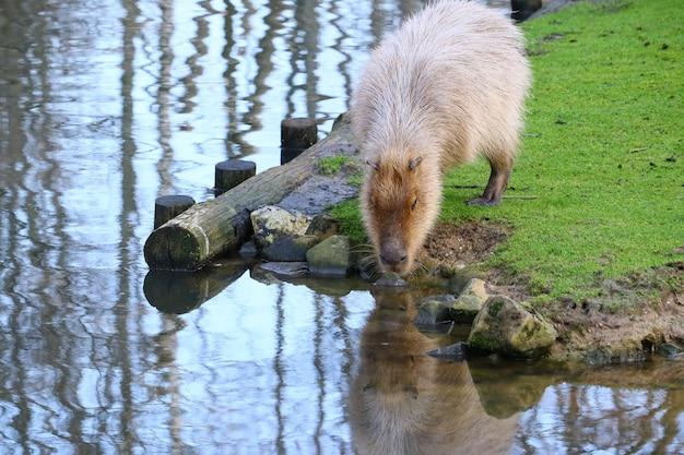 Серая капибара, стоящая на поле зеленой травы у воды