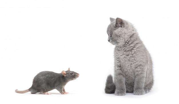회색 고양이와 쥐