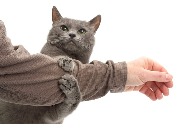Grey cat clasped his paws a man's hand on white background. home life of a beloved pet
