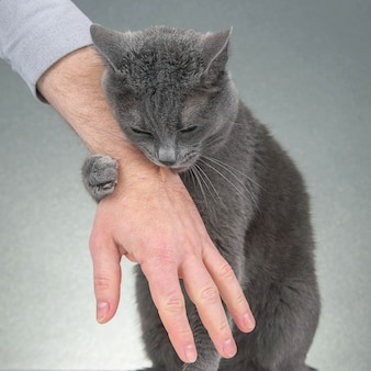 Grey cat clasped his paws a man's hand