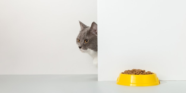 Grey cat peeps out of the corner, animal emotions, looks at a bowl of food, on a white, concept.