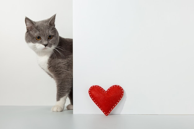 Grey cat peeps out of the corner, animal emotions, red craft heart, valentine's day, on a white, concept.