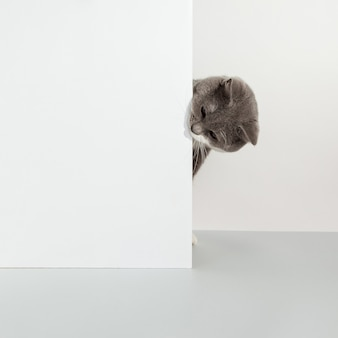 Grey cat peeps out of the corner, animal emotions, on a white, pet concept.