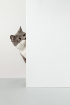 Grey cat peeps out of the corner, animal emotions, on a white