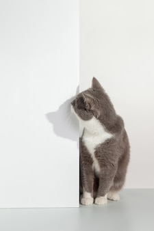 Grey cat peeps out of the corner, animal emotions