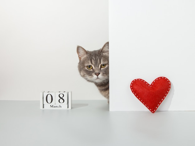 Grey cat peeps out of the corner, red craft heart, 8 march calendar, on a white, pet concept.