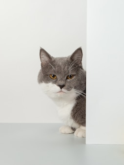 Серый кот выглядывает из-за угла, животные эмоции, на белом, домашнем животном.