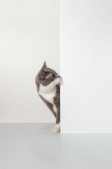 Серый кот выглядывает из-за угла, животные эмоции, на белом