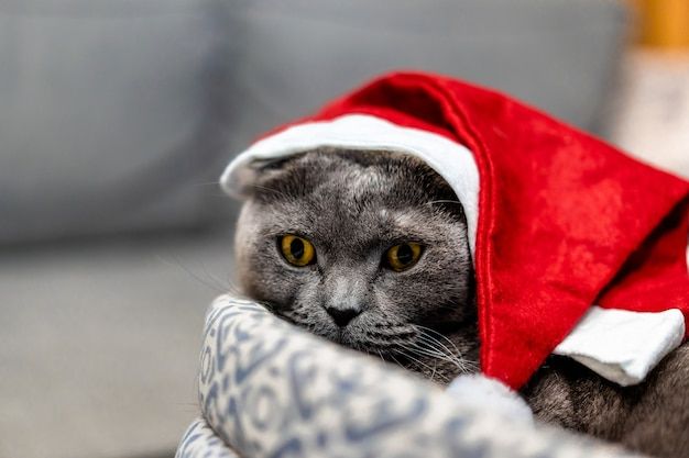 クリスマスの赤い帽子で灰色の猫スコティッシュフォールド