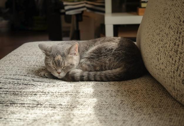 朝はソファで寝ている灰色の猫の短い髪
