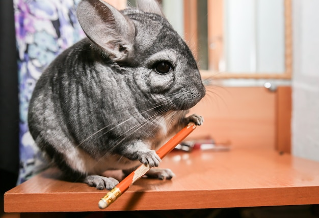 Grey chinchilla is sitting on the table. cute fluffy pet eating pencil.