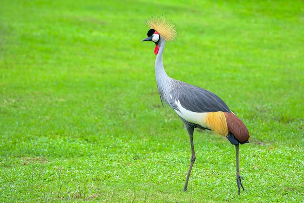 Grey crowned crane (balearica regulorum) walks on the grass