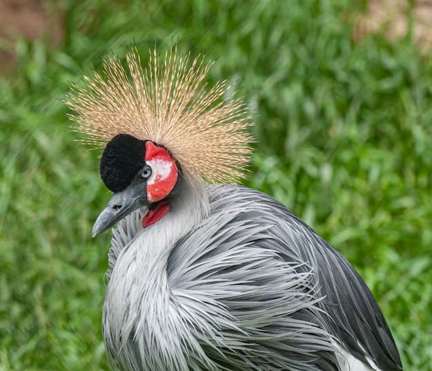 Серый венценосный журавль птица