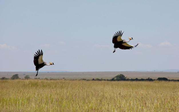 Серый венценосный журавль в саванне масаи мара, кения