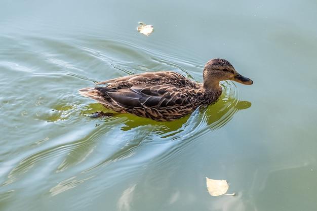 夏に湖で泳ぐ灰色のアヒルの鳥。