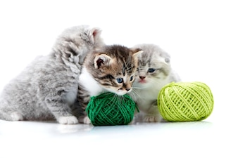 Grey fluffy cute kitties and one brown kitten are playing with orange and green yarn balls