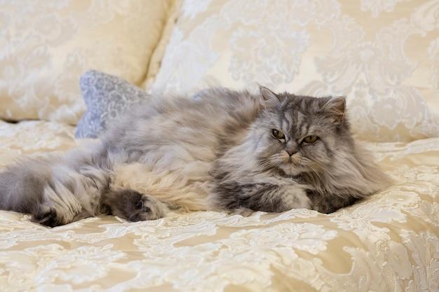 회색 솜털 스코틀랜드 하이랜드 고양이는 집에 있는 고급스러운 침대에서 긴 머리를 곧게 펴고 있습니다.