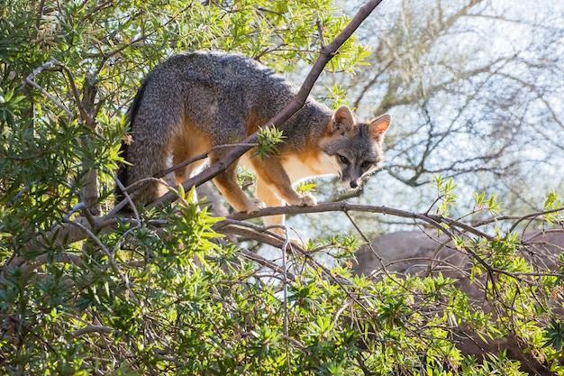 Серая лисица на верхних ветвях дерева