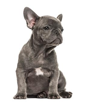 Grey french bulldog sitting, isolated on white