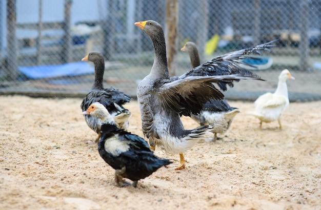 灰色のガチョウとジャコウアヒルが養鶏場を歩く