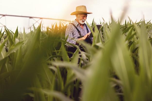 회색 머리 수염 수석 농업 경제학자 옥수수 밭을 검사하고 태블릿 컴퓨터를 사용합니다.
