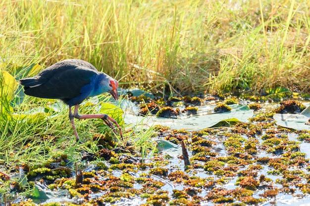 Chorakhe mak貯水池でグレーの沼