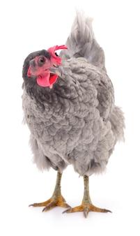 Серая курица, изолированные на белом, студия выстрел.