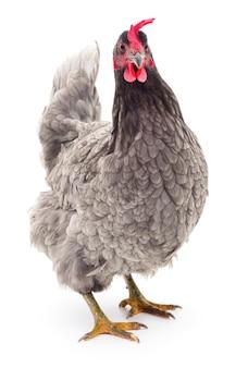 Grey hen isolated on white, studio shot.