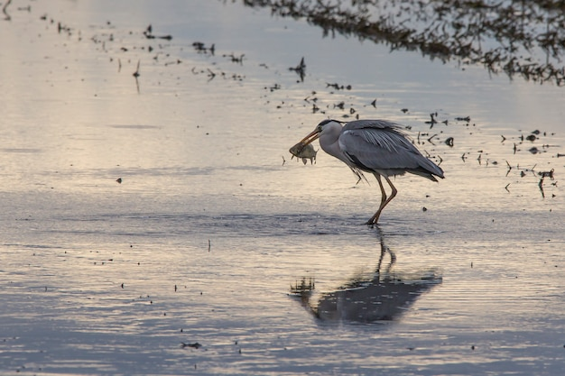 Grey heron (ardea cinerea) fishing in a rice field in a tilling day at sunset in albufera of valencia.