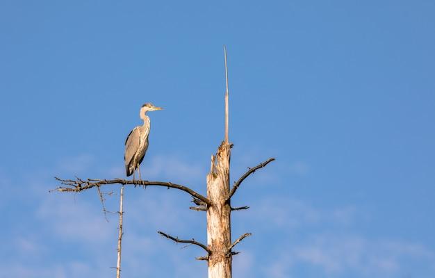 A grey heron, ardea cinerea, sitting on a dead tree in birkenes, norway
