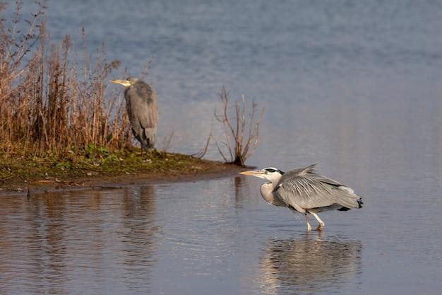 그레이 헤론(ardea cinerea)이 런던의 호수로 넘어가고 있다