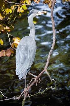Серая цапля птица на дереве