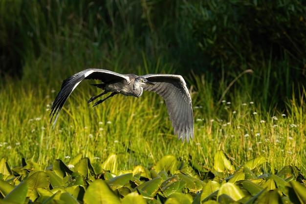 Серая цапля летит над водно-болотным угодьем