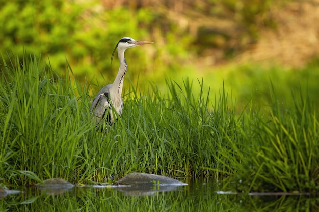 Серая цапля прячется в высокой зеленой траве возле реки на закате летом