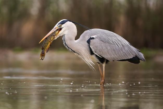 Серая цапля охотится на рыбу в реке в весенней природе