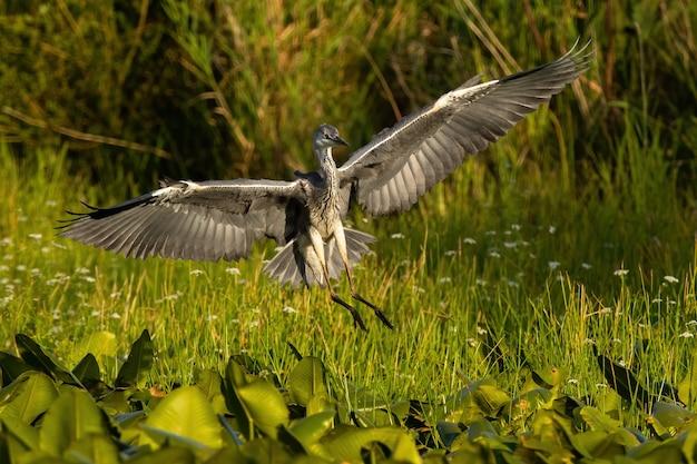 夏の日光の自然の中で湿地に着陸するアオサギ