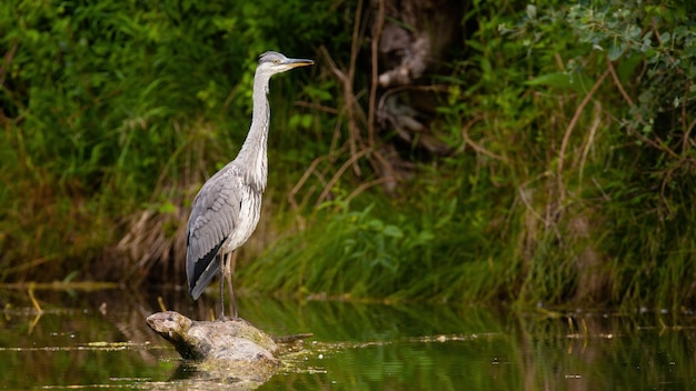 Grey heron looking from a wood in water
