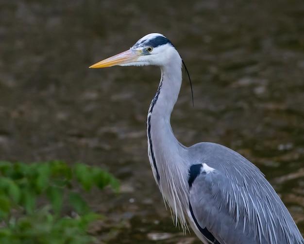 Grey heron in nature