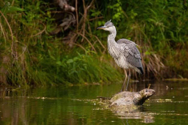 Grey heron standing on fallen tree in water in summer